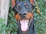 Собаки, щенки Доберман, цена 15000 Грн., Фото