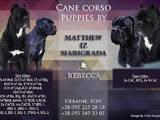 Собаки, щенята Кане Корсо, ціна 13000 Грн., Фото