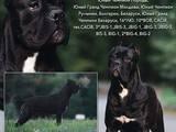 Собаки, щенки Кане Корсо, цена 13000 Грн., Фото
