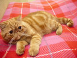 Кішки, кошенята Екзотична короткошерста, Фото