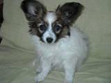 Собаки, щенята Папільон, ціна 8000 Грн., Фото
