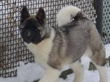 Собаки, щенки Американский акита, цена 8500 Грн., Фото