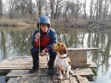 Собаки, щенята Бігль, ціна 100 Грн., Фото