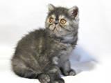 Кошки, котята Экзотическая короткошерстная, цена 6100 Грн., Фото