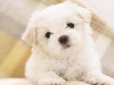 Собаки, щенята Мальтійська болонка, ціна 6000 Грн., Фото