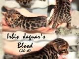 Кішки, кошенята Бенгальськая, ціна 15000 Грн., Фото