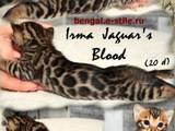 Кошки, котята Бенгальская, цена 15000 Грн., Фото