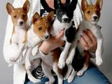 Собаки, щенки Басенджи, цена 17000 Грн., Фото