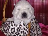 Собаки, щенки Золотистый ретривер, цена 2300 Грн., Фото