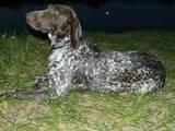 Собаки, щенки Немецкая гладкошерстная легавая, цена 7000 Грн., Фото