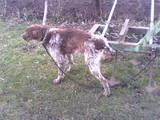 Собаки, щенки Немецкая жесткошерстная легавая, цена 1150 Грн., Фото