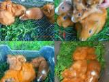Грызуны Морские свинки, цена 100 Грн., Фото