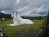 Собаки, щенки Белая Швейцарская овчарка, цена 10000 Грн., Фото