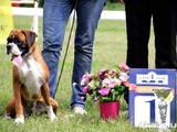 Собаки, щенята Боксер, ціна 15000 Грн., Фото