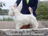 Собаки, щенята Вестхайленд уайт тер'єр, ціна 3500 Грн., Фото