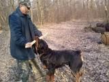 Собаки, щенки Спаривание, цена 10 Грн., Фото
