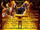 Собаки, щенята Бассет, ціна 25000 Грн., Фото