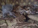 Животные Фретки, хорьки, цена 1200 Грн., Фото