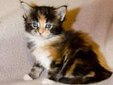 Кішки, кошенята Мейн-кун, ціна 2000 Грн., Фото