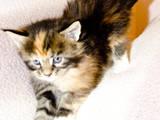 Кошки, котята Мэйн-кун, цена 2000 Грн., Фото
