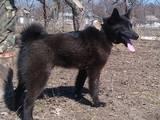 Собаки, щенята Російсько-Європейська лайка, ціна 4500 Грн., Фото