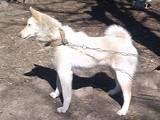 Собаки, щенки Русско-Европейская лайка, цена 4500 Грн., Фото