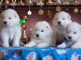 Собаки, щенки Самоед, цена 30000 Грн., Фото