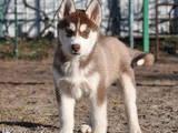 Собаки, щенята Сибірський хаськи, ціна 15000 Грн., Фото