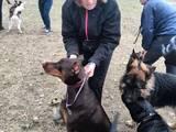 Собаки, щенки Доберман, цена 300 Грн., Фото