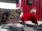 Собаки, щенки Китайская хохлатая собака, Фото