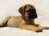 Собаки, щенята Бульмастиф, ціна 8000 Грн., Фото