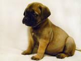 Собаки, щенята Бульмастиф, ціна 7000 Грн., Фото