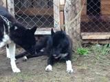 Собаки, щенки Русско-Европейская лайка, цена 16200 Грн., Фото