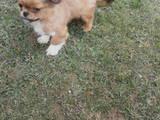 Собаки, щенята Пекінес, ціна 300 Грн., Фото