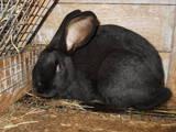 Грызуны Кролики, цена 350 Грн., Фото