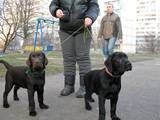 Собаки, щенята Лабрадор ретрівер, ціна 17000 Грн., Фото