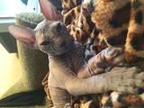 Кішки, кошенята Донський сфінкс, ціна 3000 Грн., Фото