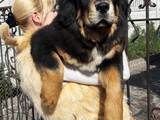 Собаки, щенята Тибетський мастиф, ціна 25000 Грн., Фото