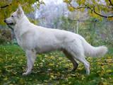 Собаки, щенки Белая Швейцарская овчарка, цена 15000 Грн., Фото