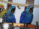 Попугаи и птицы Попугаи, цена 10 Грн., Фото