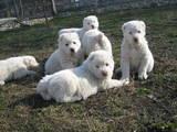 Собаки, щенки Среднеазиатская овчарка, цена 5300 Грн., Фото