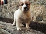 Собаки, щенята Середньоазіатська вівчарка, ціна 2700 Грн., Фото
