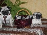 Собаки, щенята Мопс, ціна 4000 Грн., Фото