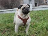 Собаки, щенки Мопс, цена 4000 Грн., Фото