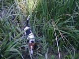 Собаки, щенки Эстонская гончая, цена 950 Грн., Фото