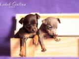 Собаки, щенята Російський гладкошерстий тойтерьер, ціна 6000 Грн., Фото