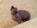 Кішки, кошенята Шотландська висловуха, ціна 1750 Грн., Фото