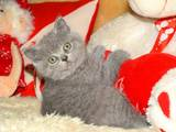 Кошки, котята Шотландская короткошерстная, цена 700 Грн., Фото