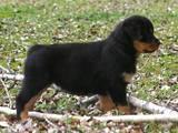 Собаки, щенята Ротвейлер, ціна 3500 Грн., Фото