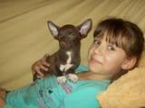 Собаки, щенки Чихуа-хуа, цена 4000 Грн., Фото